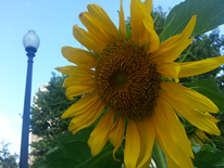 Sunflower in front of Streetlight in Kalorama Park